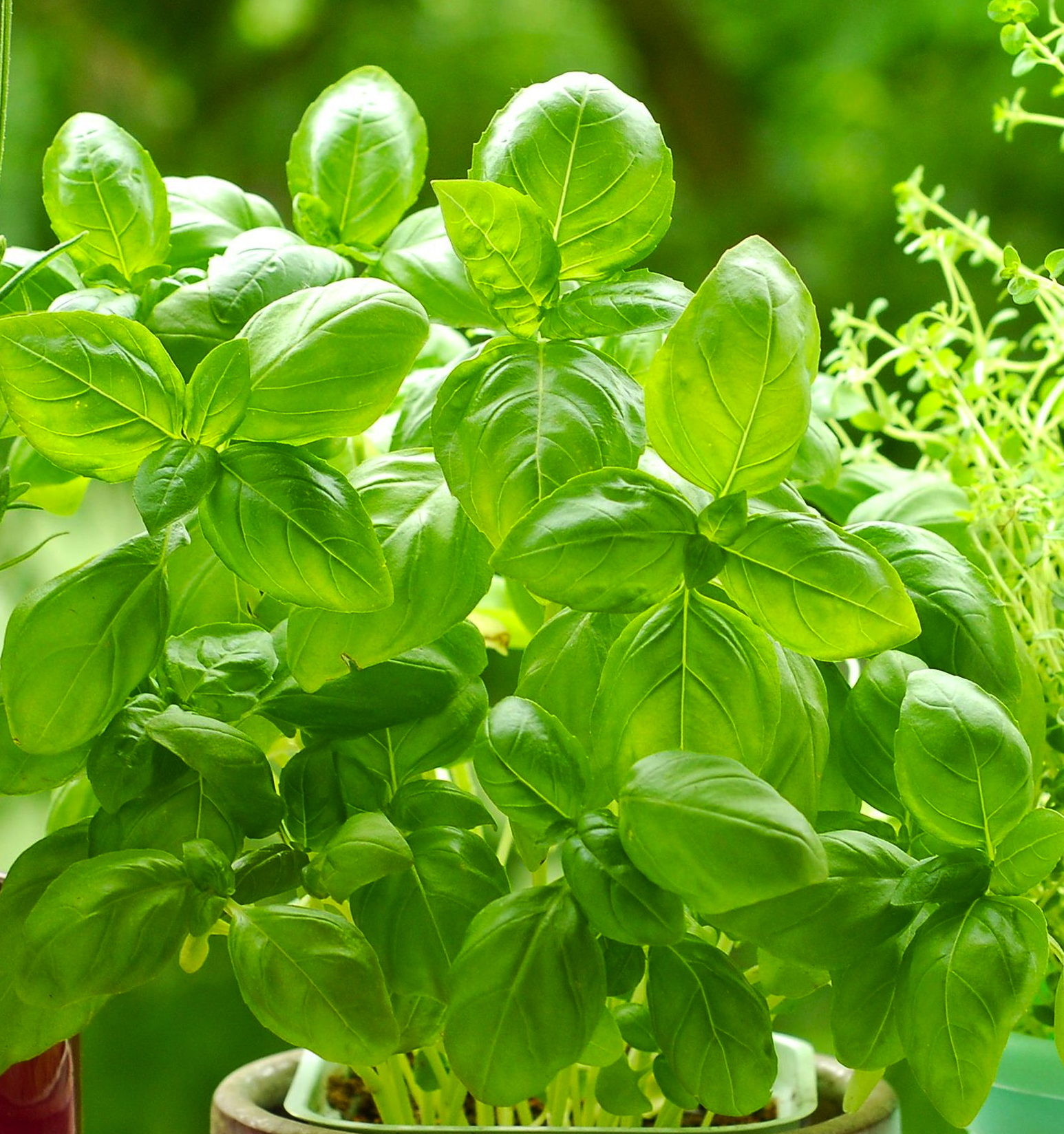 The Herb Series: Basil